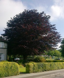 rsz_a_magnificent_beech_tree_-_the_meadows_maghull