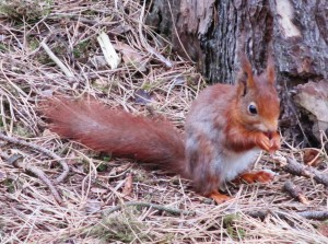 A Red Squirrel at Formby Point in 2015