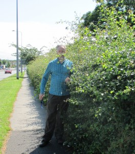 Uncut hedge at Maghull's KGV Park